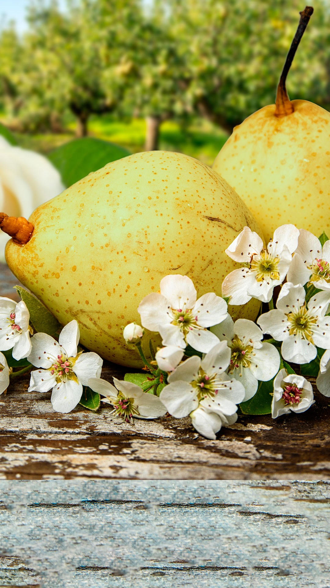 Ripe pears on orchard flowers - portrait