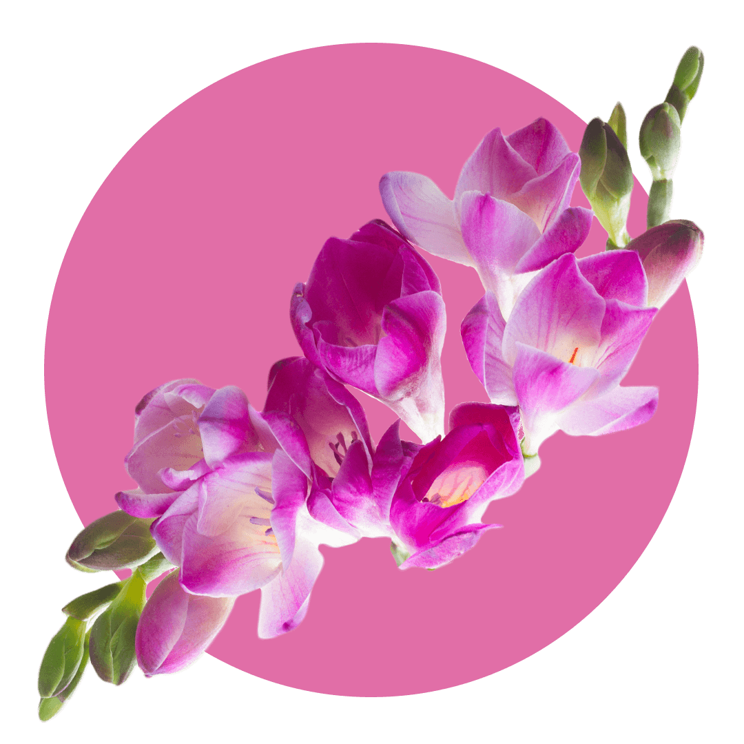 Vine of freesia with pink and white flowers