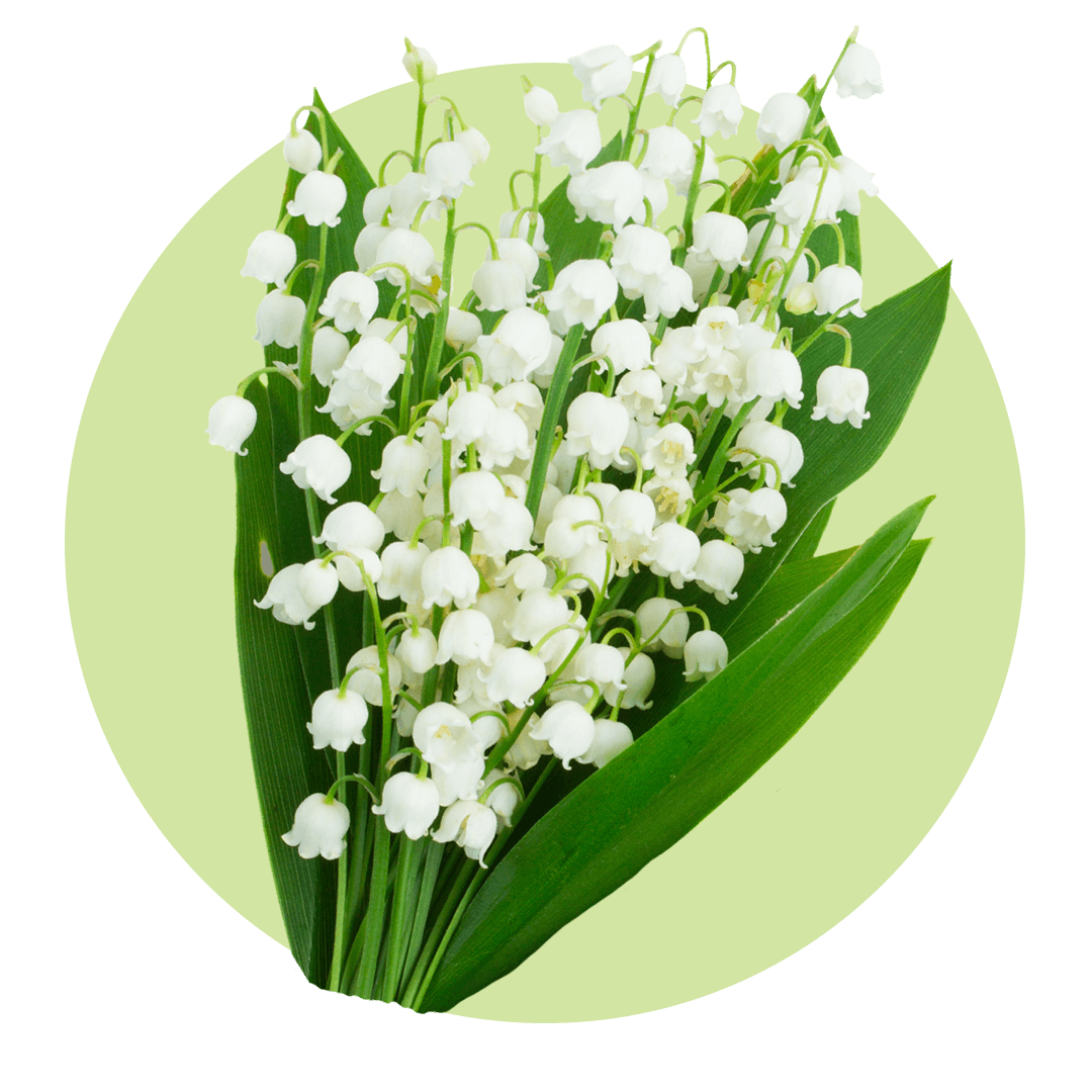 White flowering lily of the valley flower