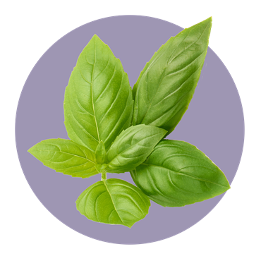 Luscious basil leaves
