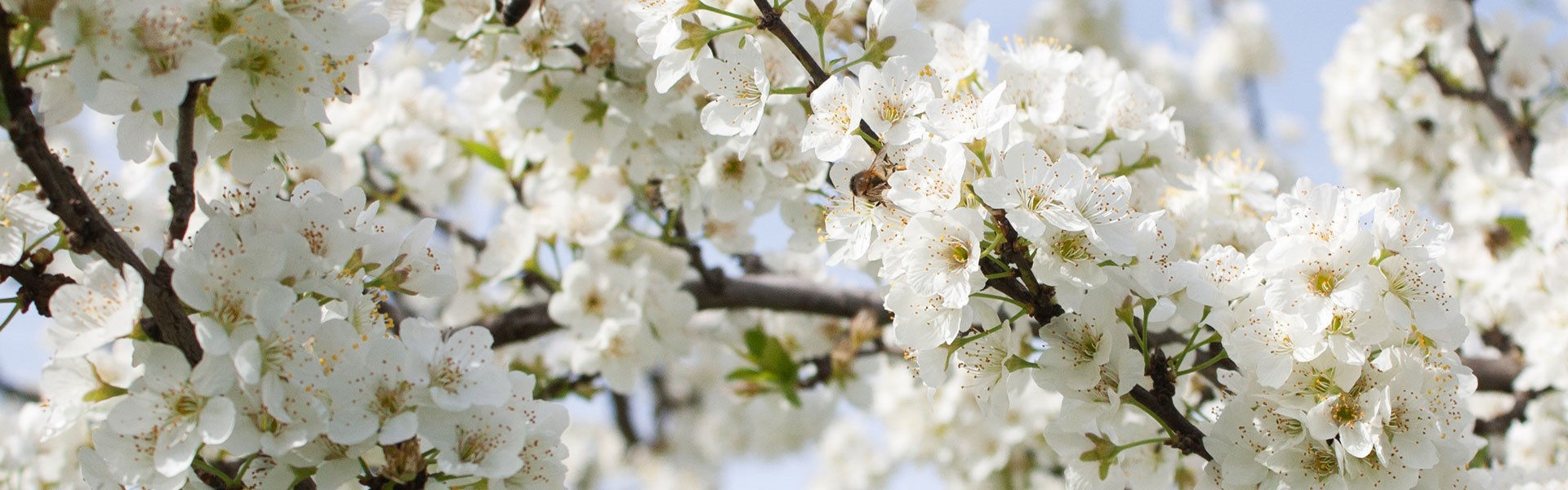White blossom on a tree branch - wide