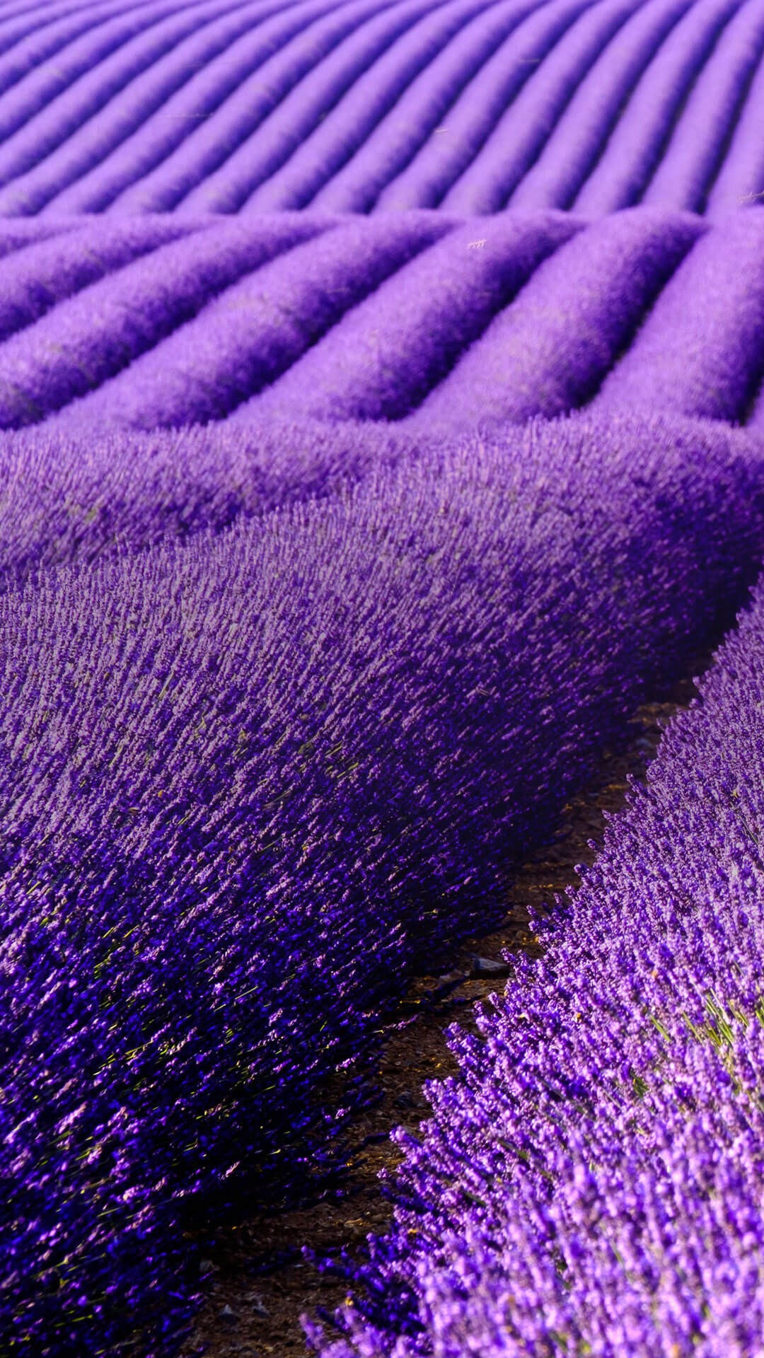 Portrait of vivid purple lavender fields
