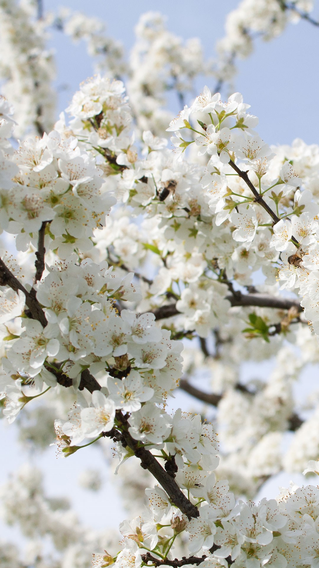 White blossom on a tree branch - portrait