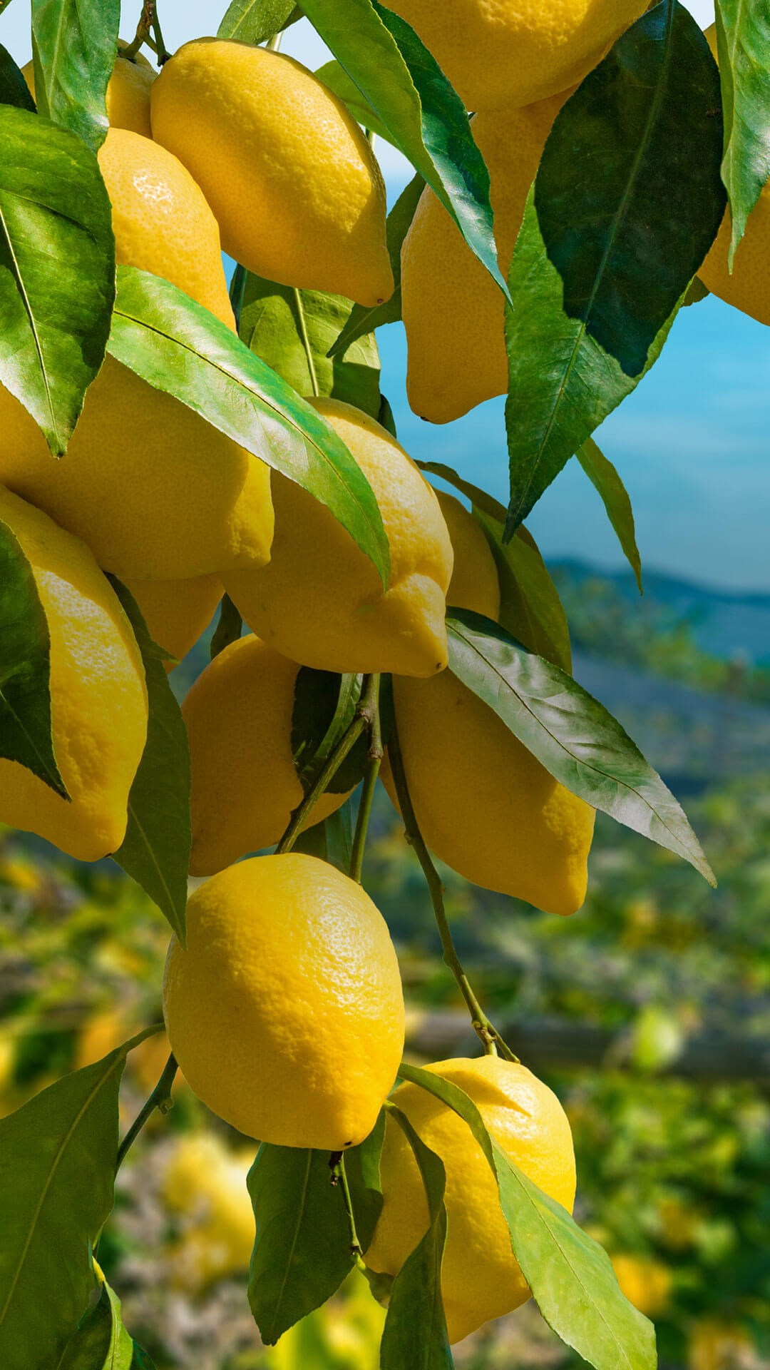 Portrait of bunches of lemons in a lemon orchard