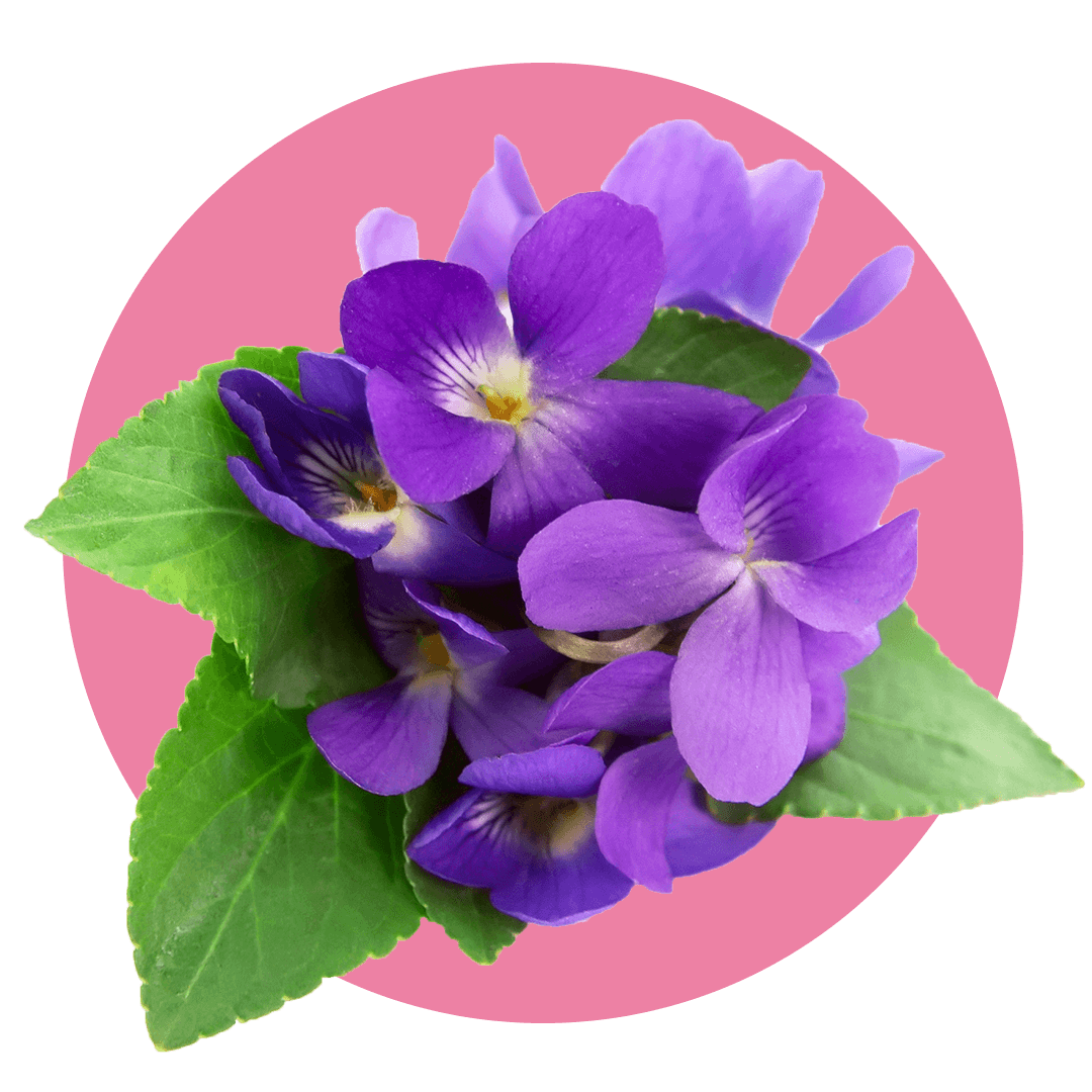 Violet flowers on green leaves